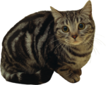 Скачать PNG картинку на прозрачном фоне Кот сидит, испуганный, смотрит вперед