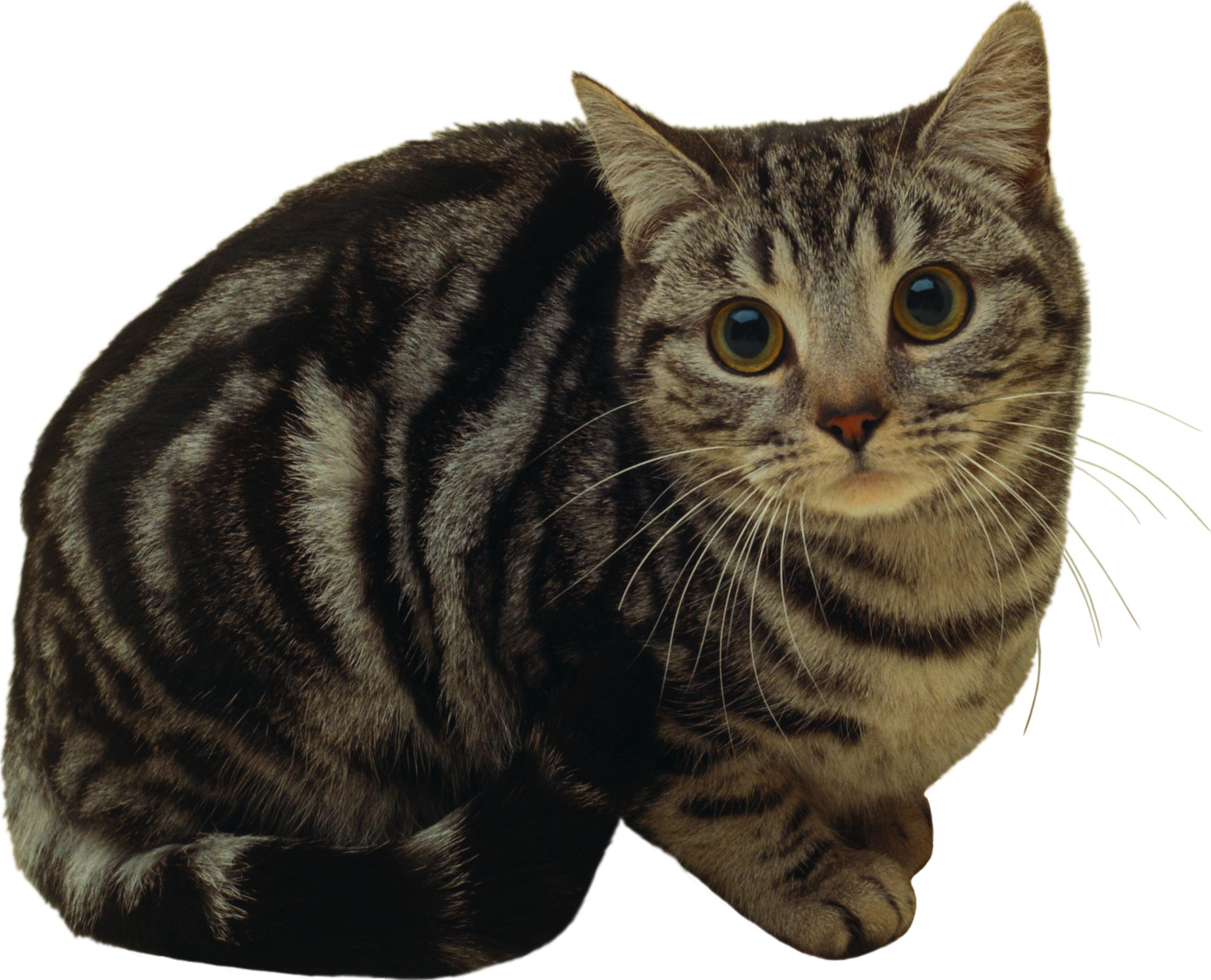 полосатый кот картинка на прозрачном фоне заключали клиентами