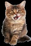 Скачать PNG картинку на прозрачном фоне Кот смотрит в перед и облизывается