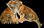 Скачать PNG картинку на прозрачном фоне ласкаются двое, тигр, рисунок
