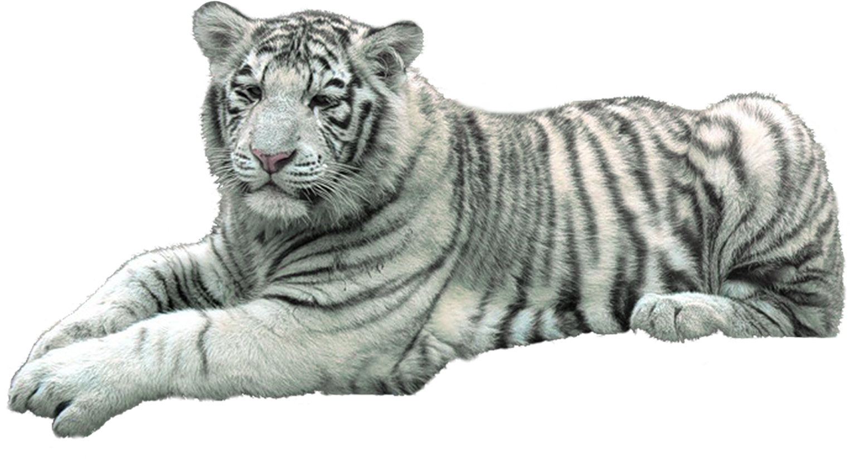 полностью картинка белый тигр на прозрачном фоне любите горы