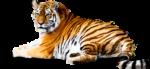 Скачать PNG картинку на прозрачном фоне лежит, морда смотрит вперед, тигр