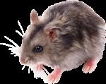 Скачать PNG картинку на прозрачном фоне Маленькая мышка