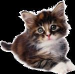 Скачать PNG картинку на прозрачном фоне Маленький котенок лежит, с белыми лапками и грудкой