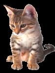 Скачать PNG картинку на прозрачном фоне Маленький котенок стоит на передних лапах