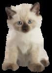 Скачать PNG картинку на прозрачном фоне Маленький пушистый котенок, стоит и смотрит вперед