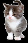 Скачать PNG картинку на прозрачном фоне Маленький серо-белый котенок идет вперед, довольный