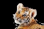Скачать PNG картинку на прозрачном фоне морда, взгляд на зрителя тигренок