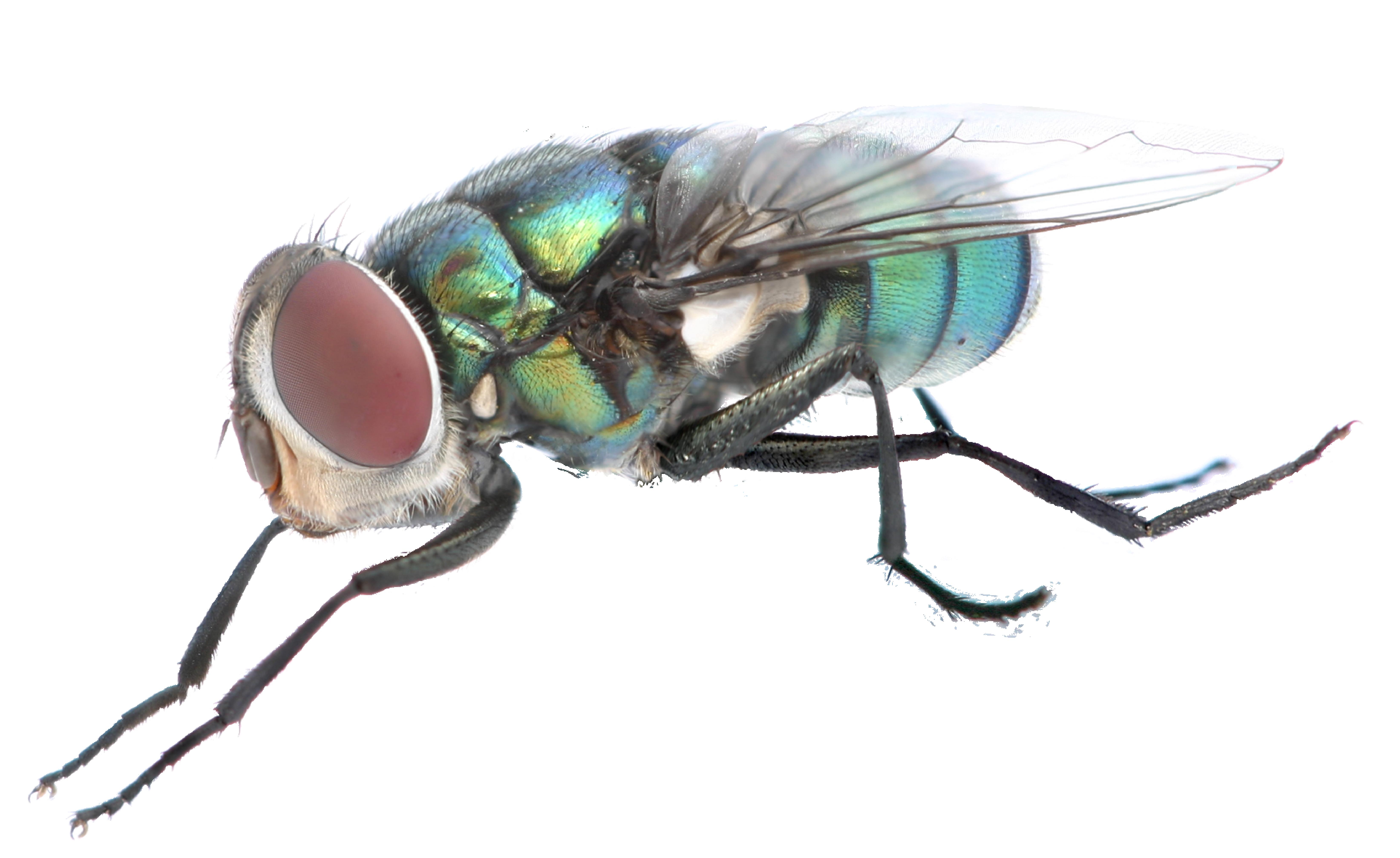 Картинка муха на белом фоне