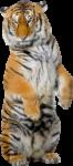 Скачать PNG картинку на прозрачном фоне на задних лапках, тигр