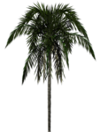 Скачать PNG картинку на прозрачном фоне Нарисованная пальма с обвисшими листьями