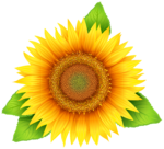 Скачать PNG картинку на прозрачном фоне Нарисованный цветок подсолнечника с листьями, вид сверху