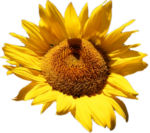 Скачать PNG картинку на прозрачном фоне Обычный цвето подсолнуха, вид сбоку