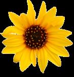 Скачать PNG картинку на прозрачном фоне Очень маленький цветок подсолнуха