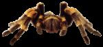Скачать PNG картинку на прозрачном фоне паук птицеед, вид спереди, полосатый, желтый-черный, смотрит вперед