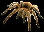 Скачать PNG картинку на прозрачном фоне паук птицеед, вид спереди, светлый