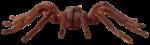 Скачать PNG картинку на прозрачном фоне паук птицеед,спереди, коричневый, стоит