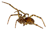 Скачать PNG картинку на прозрачном фоне паук, вид сбоку, светлый