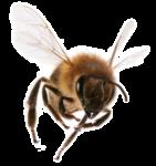 Скачать PNG картинку на прозрачном фоне Пчела летит, вид спереди