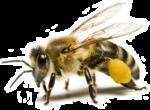 Скачать PNG картинку на прозрачном фоне Пчела, сидит смотрит вперед