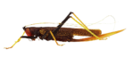 Скачать PNG картинку на прозрачном фоне Пестрый оранжево-коричневый кузнечик