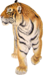 Скачать PNG картинку на прозрачном фоне поворот головы направо, тигр, рисунок, нарисованный