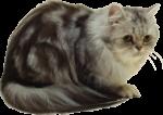 Скачать PNG картинку на прозрачном фоне Пушистый серый кот сидит