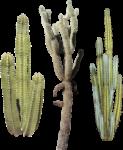 Скачать PNG картинку на прозрачном фоне Разные кактусы вместе
