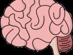 Скачать PNG картинку на прозрачном фоне Розовый нарисованный человеческий мозг, вид сбоку