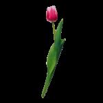 Скачать PNG картинку на прозрачном фоне Розовый тюльпан с белыми краями, закрытый
