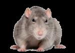 Скачать PNG картинку на прозрачном фоне Серая мышь, прищурилась, смотрит с недоверием
