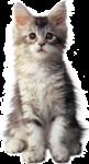Скачать PNG картинку на прозрачном фоне Серо-белый котенок сидит, смотрит вперед
