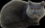Скачать PNG картинку на прозрачном фоне Серый кот лежит