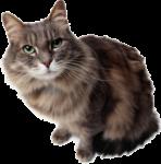 Скачать PNG картинку на прозрачном фоне Серый кот сидит, смотрит вперед