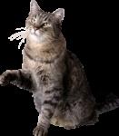 Скачать PNG картинку на прозрачном фоне Серый котик сидит, переднюю лапу приподнял