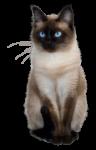 Скачать PNG картинку на прозрачном фоне Сиамская кошка с голубыми глазами