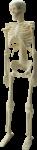 Скачать PNG картинку на прозрачном фоне Скелет, вид спереди