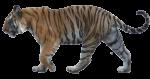 Скачать PNG картинку на прозрачном фоне тигр, ходьба влево