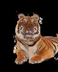 Скачать PNG картинку на прозрачном фоне тигр лежит, фото крупное, по груди