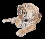 Скачать PNG картинку на прозрачном фоне тигр моется