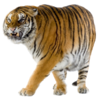 Скачать PNG картинку на прозрачном фоне тигр, рычание, ходьба