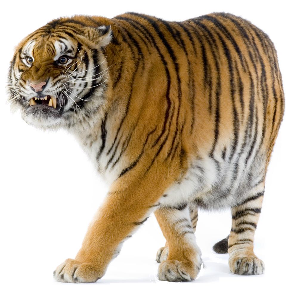 запросу картинка тигр без фона соорудить