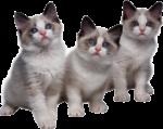 Скачать PNG картинку на прозрачном фоне Три котенка, серо-белые, смотрят вперед