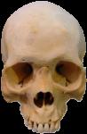 Скачать PNG картинку на прозрачном фоне Вид спереди, череп