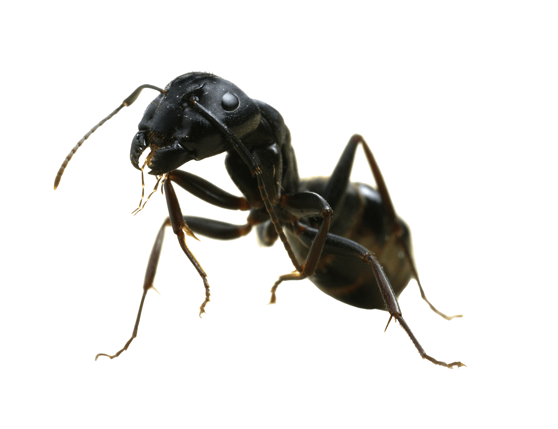 все муравей на прозрачном фоне картинки для расщелина
