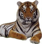 Скачать PNG картинку на прозрачном фоне вид спереди, морда и лапки, тигр,
