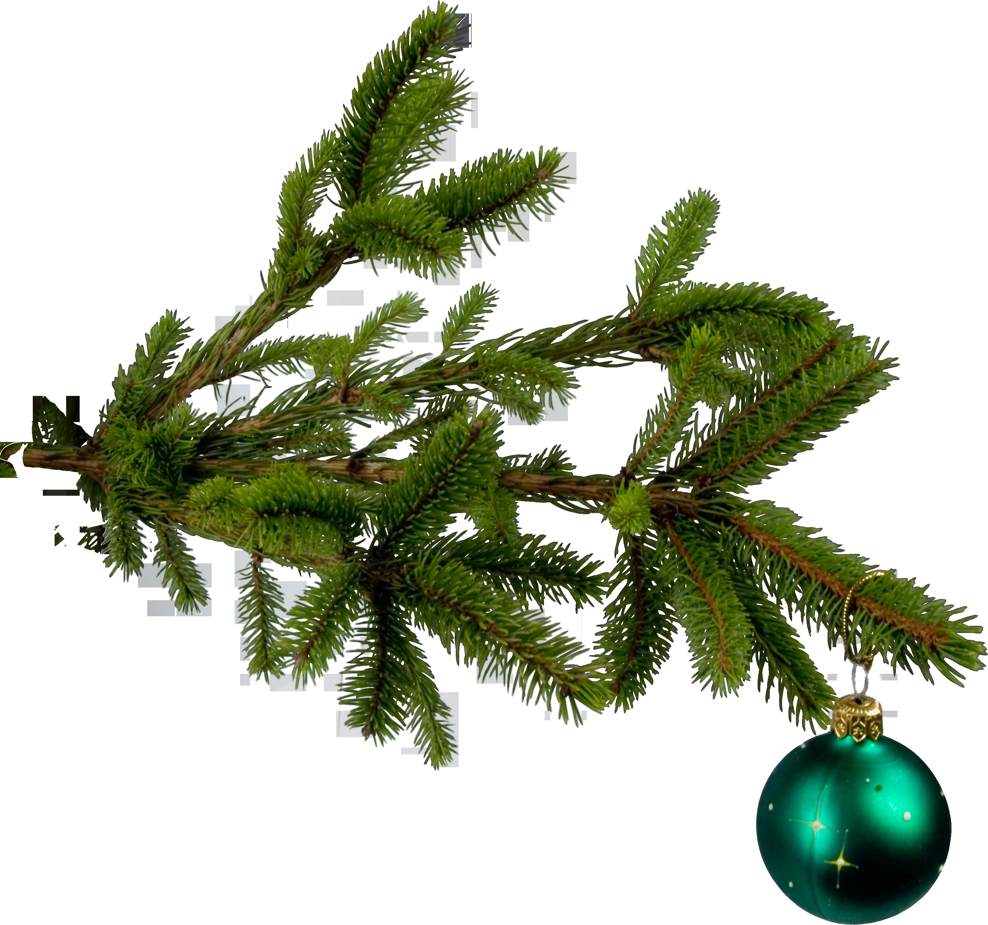 картинки веточек елок