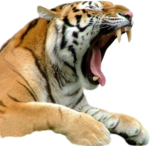 Скачать PNG картинку на прозрачном фоне зевание, морда, лапки, тигр