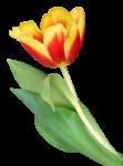 Скачать PNG картинку на прозрачном фоне Желто -красный открытый тюльпан