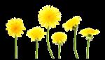 Скачать PNG картинку на прозрачном фоне Желтые одуванчики